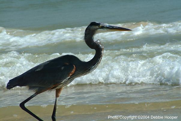 Blue Heron at Cape San Blas